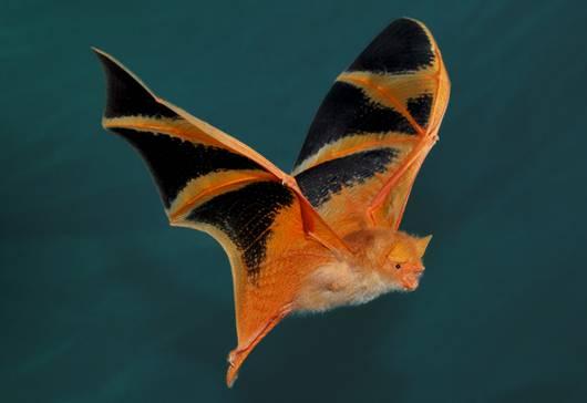 Painted bat