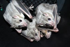 Egyptian fruit bats courtesy of lubee.org